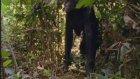 Iki ayak üzerinde dik olarak yürüyen Bonobo maymunları