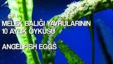 Melek Balığı Yavrularının 10 Aylık Öyküsü