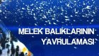 Melek Balıklarının Yavrulaması ve 2 Haftalık Yavrularıyla İlk Yüzüşü