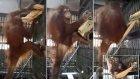 Kendine Hamak Yapak Zeka Küpü Orangutan