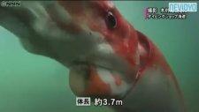 Japonya'da 4 metrelik dev kalamar bulundu