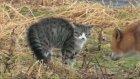 Kediyle Tilki Karşılaşırsa