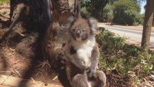 Ağaçtan Atılan Sevimli Koala böyle isyan etti
