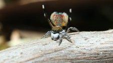 İlginç Dans Figürleri Yapan Tavus Kuşu Örümceği