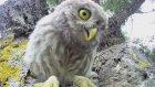 Bebek Baykuşların Kameraya Tepkisi