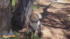 Saldırıya Uğrayınca Sinir Krizine Giren Koala