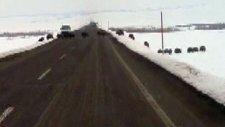 Erzurum'da Karayoluna Domuz Sürüsü Çıktı