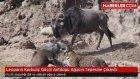 Leoparın Korkunç Gücü! Antilopu Ağacın Tepesine Çıkardı