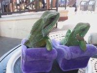 Adanalı İguanalar (Keyif İçerir)