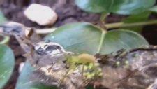 Yeşil Örümcek ve Yavruları - Böcek Reis
