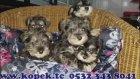 minyatür schnauzer yavruları 05323438041