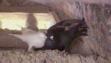 Kuşçu Ali'nin Işıklı Güvercinleri