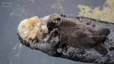 Uykuya Dalmaya Çalışan Annesinin Kucağında Su Samuru