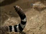 çıngıraklı yılan ağır çekim