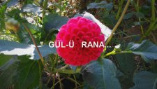 Gül-Ü Rana...