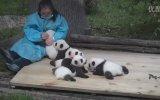 Dünyanın En Güzel İşi Panda Sevicilik