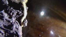 Böcek Reyiz - Sadece California'da Var Denilen 750 Ayak