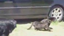 Kedi Kavgasını Ayıran Mahalle Abisi Köpekler
