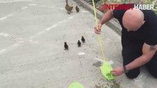 Yavru Ördekleri Annelerine Kavuşturan Yiğitler