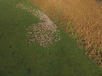 Hipnoz Etkisi Yaratan Koyun Sürüsü
