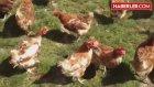 Uyanık Yatırımcı Hayalindeki Tavuk Çiftliğini Kurdu