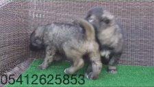 Kafkas Çoban Köpeği Yavruları 05412625853