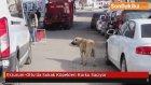 Erzurum'un Oltu İlçesinde Sokak Köpekleri Korku Saçıyor