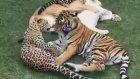 yırtıcı kediler bir arada oynuyorlar
