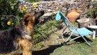 Ev Bezgini, Dev Alman Kurt Köpeği Alfa İle...