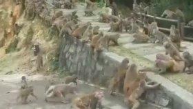 Açlıktan Maymunların Birbirini Yemesi