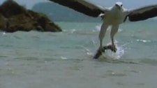 Kartalın Yılan Balığı Avı