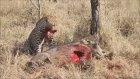 Leopar Canlı Domuzun Ciğerini Yiyiyor HD
