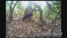 Ağaç Taşlayan Şempanzeler Dinsel Davranış mı Sergiliyor?