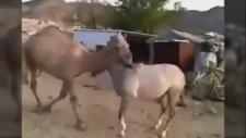 Beraber Büyüyüp Uzun Bir Süre Ayrı Kalan At Ve Devenin Tekrar Buluşması