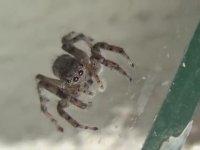 Bol Kıllı Zıplayan Örümcek