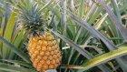 Sebze Ve Meyvelerin Vahşi Ve Evcil Halleri (Sesli Anlatım)
