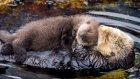 Yeni Doğan Su Samuru ve Annesinin Muhteşem Uyumu