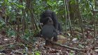 Afrika'daki Şempanzelerin Yaşamı