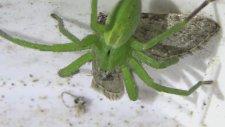 Green Hunter - Yeşil Avcı - Böcek Reis