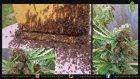 Arıları Marihuanadan Bal Üretmek Üzere Eğitmek