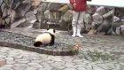 Fotoğrafçıya Saldıran Sevimli Yavru Panda