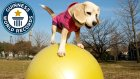 Rekorlar Kitabına Top Üstündeki Performansı ile Giren İnanılmaz Köpek
