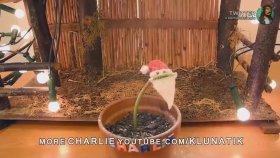 Sinekkapan Çiçeğini Trollemek