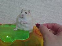 Yemeği Alınınca Beyninden Vurulmuşa Dönen Hamster