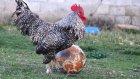 Futbol Sihirbazı Horozoviç