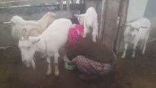 Süt Sağan Kadının Üstünde Tepinen Oğlak