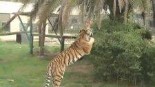 Darıca Hayvanat Bahçesinde Kaplan Dehşeti