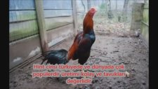En Pahalı 3 Tavuk Cinsi