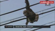 Japonya'da Firardaki Şempanze, Elektrik Tellerinde Yakalandı