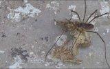 Otobur Örümcek